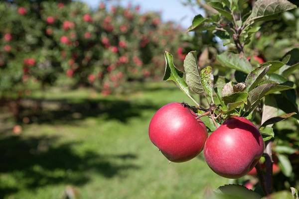 Red Delicious Apple Photograph - Ripe Apples In A Orchard by Jim West