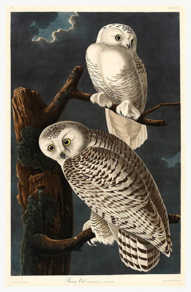 Wall Art - Drawing - Robert Havell After John James Audubon American by English School