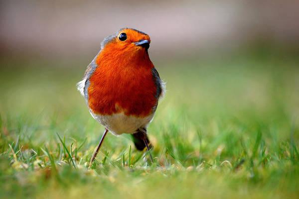 Photograph - Robin by Gavin Macrae