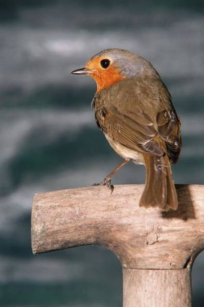 European Robin Photograph - Robin Redbreast by Brian Gadsby/science Photo Library