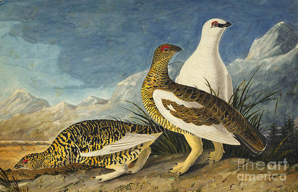 Drawing - Rock Ptarmigan by Celestial Images