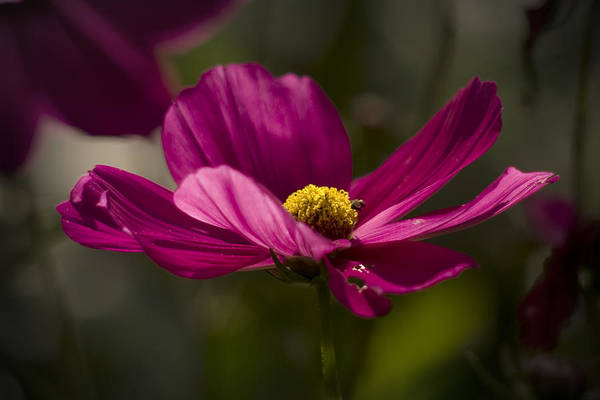Photograph - Rock Rose by Peter OReilly