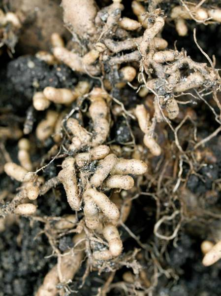 Montana State Photograph - Roots And Nitrogen-fixing Nodules by Dr Jeremy Burgess/science Photo Library