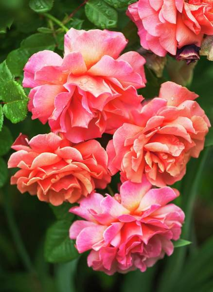 Rosaceae Wall Art - Photograph - Rosa 'easy Does It' Flowers by Maria Mosolova
