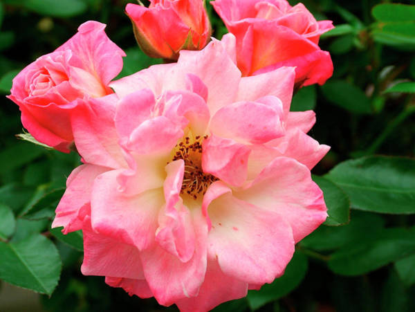 Castle Garden Photograph - Rose 'castle' by Ian Gowland/science Photo Library
