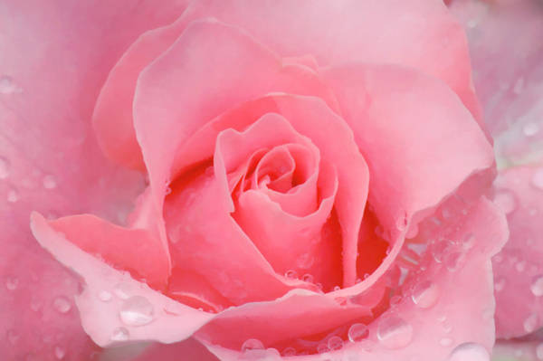 Hybrid Rose Photograph - Rose Flower by Maria Mosolova/science Photo Library