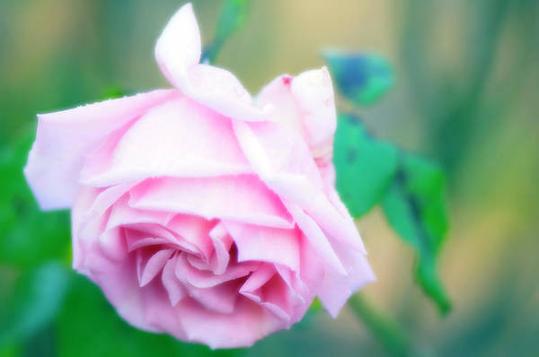 Hybrid Rose Photograph - Rose Flower (rosa Sp.) by Maria Mosolova/science Photo Library