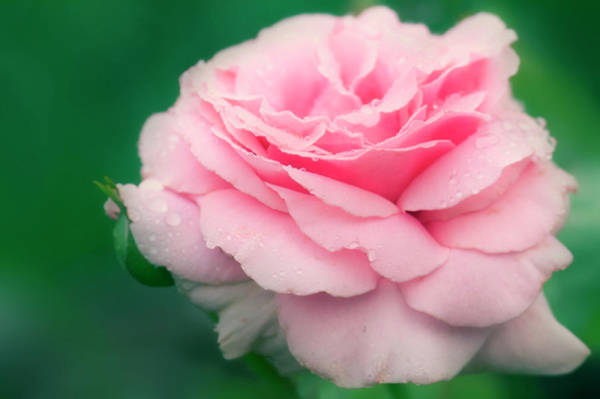 Hybrid Rose Photograph - Rose (rosa 'frederic Mistral') by Maria Mosolova/science Photo Library