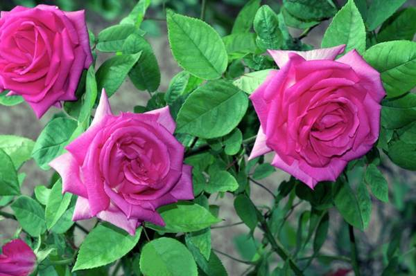 Rose In Bloom Photograph - Rose (zephirine Drouhin) by Brian Gadsby/science Photo Library