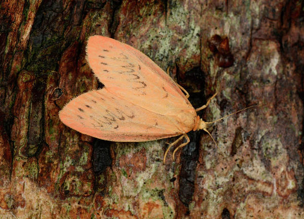 Rosy Photograph - Rosy Footman Moth by Nigel Downer