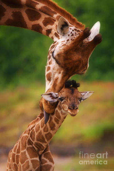 Photograph - Rothschild Giraffe With Calf by Nick  Biemans