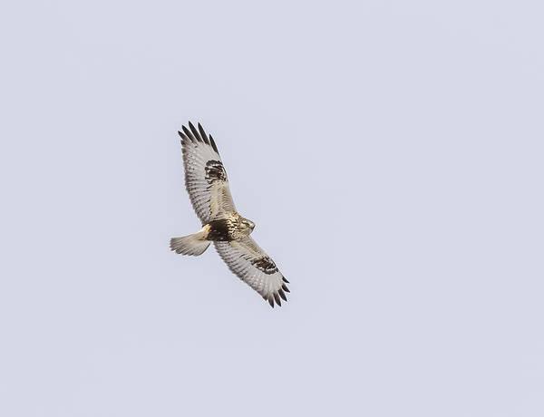 Wall Art - Photograph - Rough-legged Hawk In Flight by Thomas Young