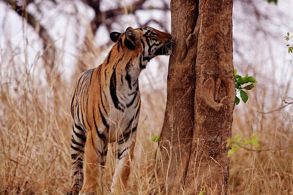 Wall Art - Photograph - Royal Bengal Tiger, Catching The Scent by Jagdeep Rajput
