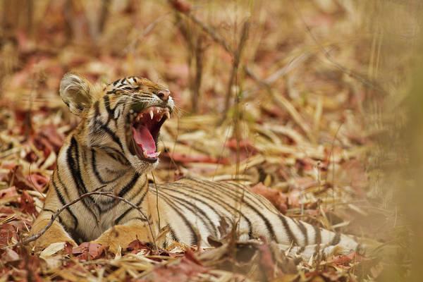 Bengal Photograph - Royal Bengal Tiger Cub Yawning, Tadoba by Jagdeep Rajput