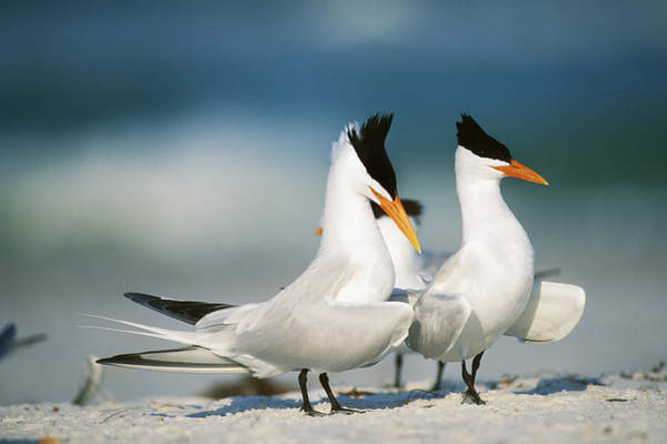 Royal Colony Photograph - Royal Terns by Paul J. Fusco