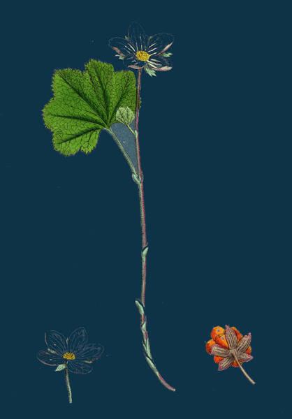 Wall Art - Drawing - Rubus Chamaemorus Cloudberry by English School