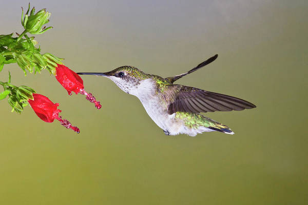Bird Feeding Photograph - Ruby-throated Hummingbird (archilochus by Larry Ditto