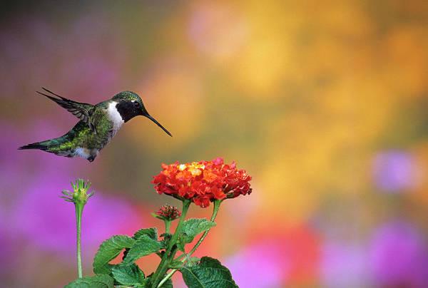 Backyard Bird Photograph - Ruby-throated Hummingbird (archilochus by Richard and Susan Day