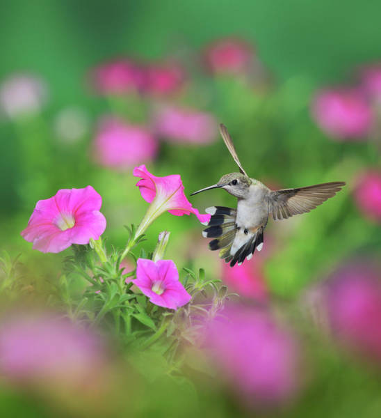 Wall Art - Photograph - Ruby-throated Hummingbird Female by Rolf Nussbaumer