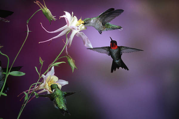 Aquilegia Photograph - Ruby-throated Hummingbirds (archilochus by Richard and Susan Day