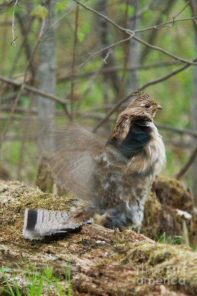 Ruffed Grouse Photograph - Ruffed Grouse Courtship Display by Linda Freshwaters Arndt