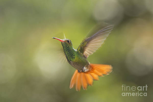 Photograph - Rufous-tailed Hummingbird by Dan Suzio