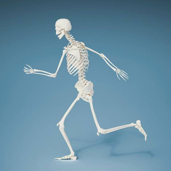 Bone Structure Wall Art - Photograph - Running Skeleton by Andrzej Wojcicki/science Photo Library