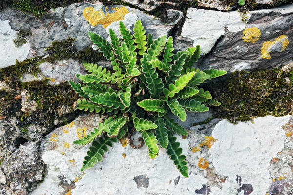 Wall Art - Photograph - Rustyback Fern by Geoff Kidd/science Photo Library