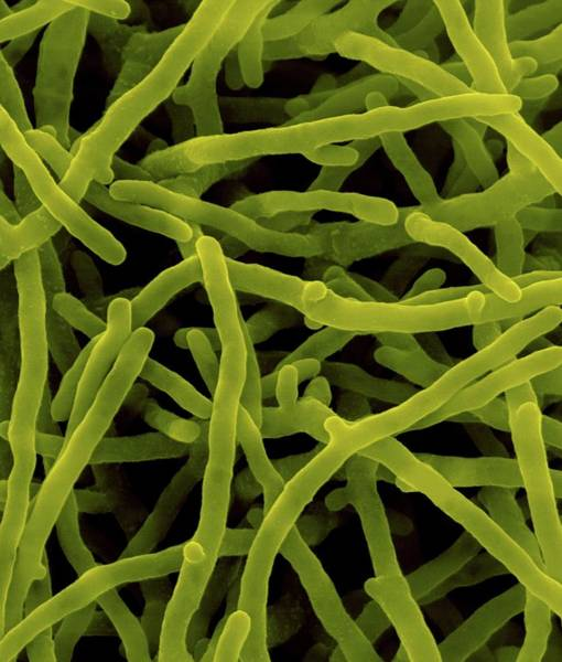 Biological Pest Control Photograph - Saccharopolyspora Spinosa by Dennis Kunkel Microscopy/science Photo Library