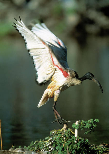 Ibis Wall Art - Photograph - Sacred Ibis by Tony Camacho/science Photo Library