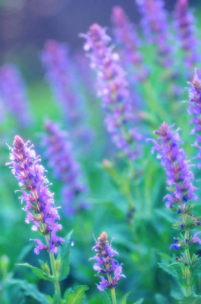 Purple Sage Photograph - Sage Flowers (salvia Sp.) by Maria Mosolova/science Photo Library