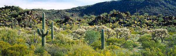 Peacefulness Photograph - Saguaro Cactus Carnegiea Gigantea by Panoramic Images