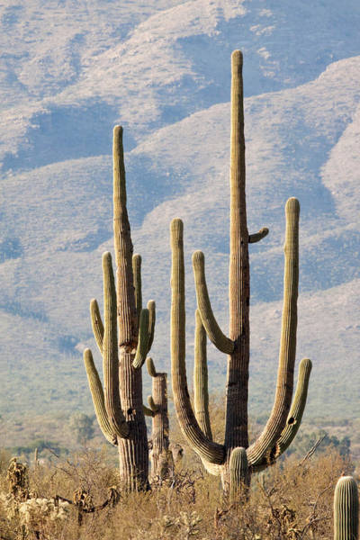 Wall Art - Photograph - Saguaro Cactus by Craig K. Lorenz