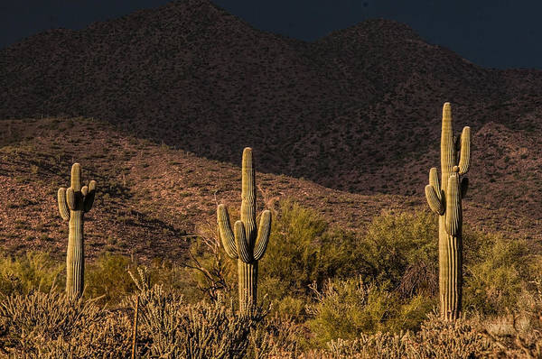Photograph - Saguaro Sentinels by Tam Ryan