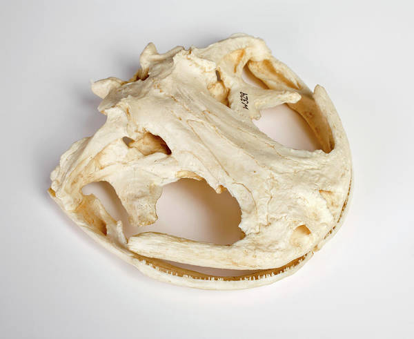 Critically Endangered Photograph - Salamander Skull Model by Ucl, Grant Museum Of Zoology