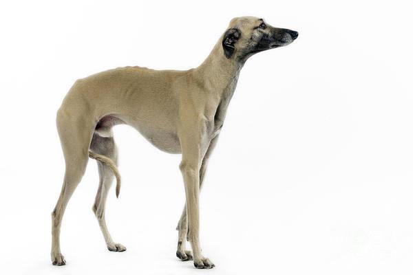 Breed Of Dog Photograph - Saluki Dog by Jean-Michel Labat