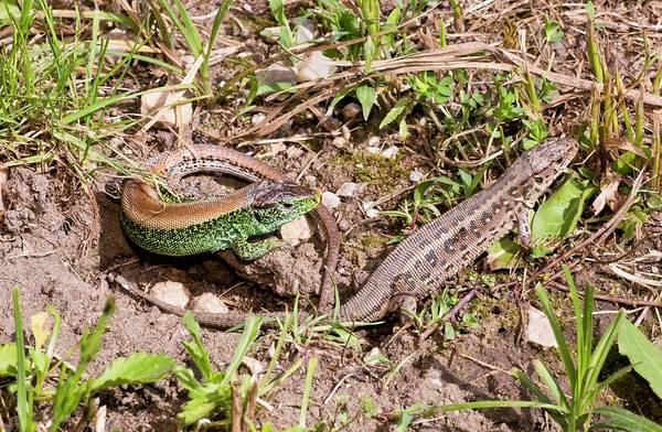 Mating Ritual Photograph - Sand Lizards Courting by Bob Gibbons