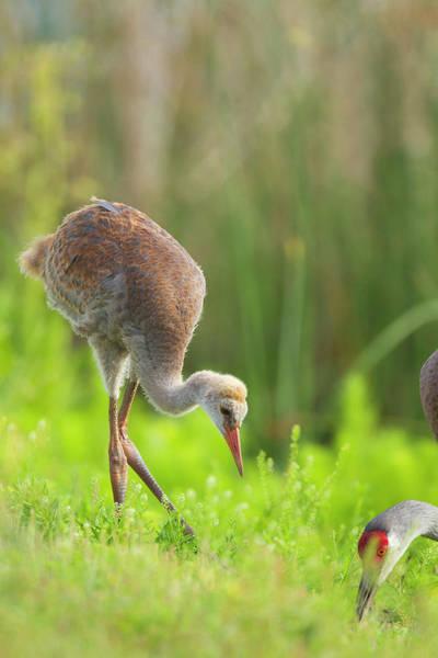 Sandhill Cranes Photograph - Sandhill Crane Feeding Chick, Grus by Maresa Pryor