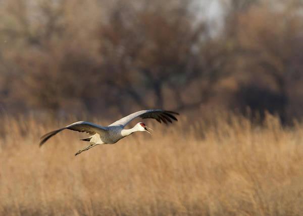 Sandhill Cranes Photograph - Sandhill Crane (grus Canadensis by William Sutton