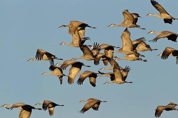 Sandhill Cranes Photograph - Sandhill Cranes Leave Corn Fields by Chuck Haney