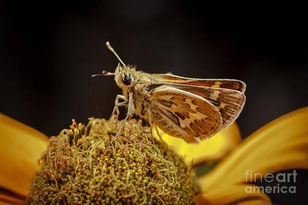 Skipper Photograph - Sandhill Skipper by Mitch Shindelbower