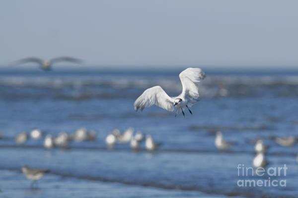 Photograph - Sandwich Tern by Dan Suzio