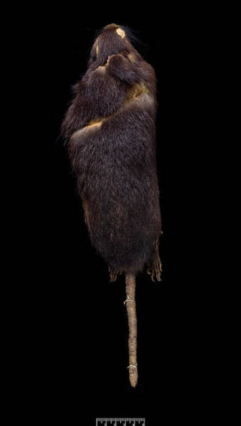 Saint Lucia Photograph - Santa Lucia Giant Rice Rat by Natural History Museum, London/science Photo Library