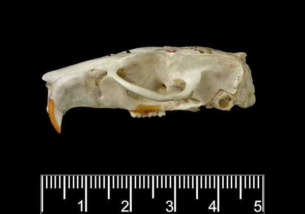 Saint Lucia Photograph - Santa Lucia Giant Rice Rat Skull by Natural History Museum, London/science Photo Library