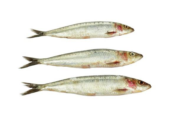 Cutout Wall Art - Photograph - Sardines by Geoff Kidd/science Photo Library