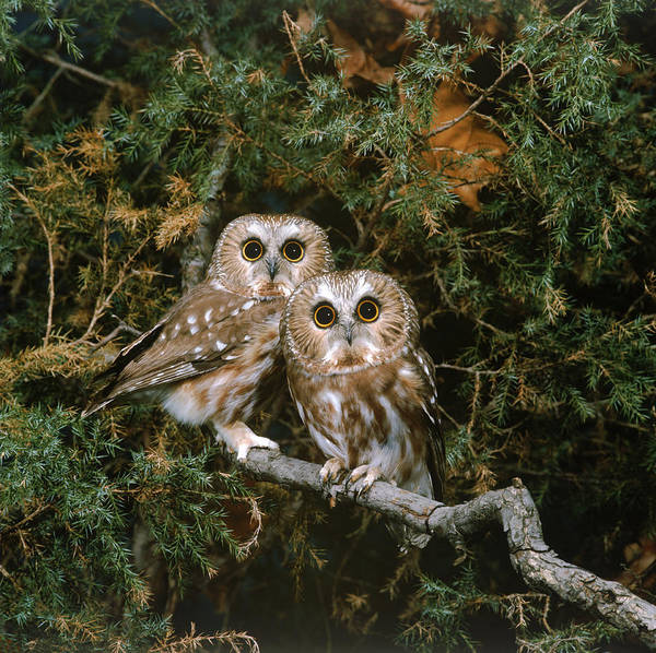 Wall Art - Photograph - Saw-whet Owls by G Ronald Austing
