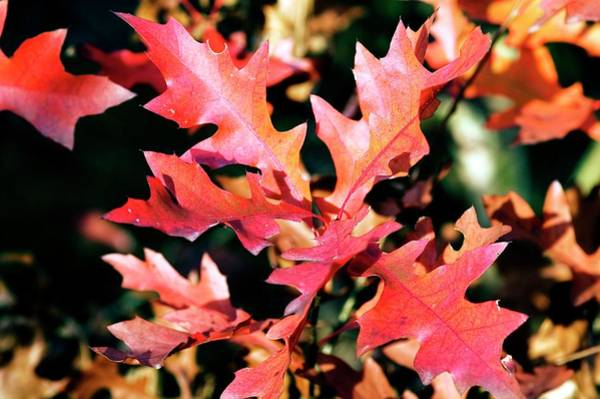 Wall Art - Photograph - Scarlet Oak (quercus Coccinea) by Brian Gadsby/science Photo Library