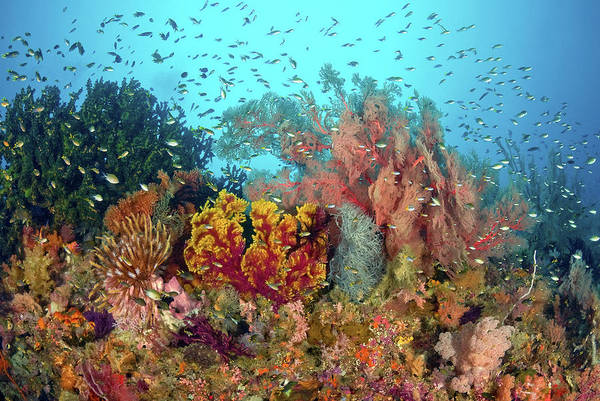 Feather Stars Wall Art - Photograph - Scenic Of Diverse Reef Life, Misool by Jaynes Gallery