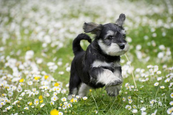 Schnauzer Photograph - Schnauzer Puppy Dog by John Daniels