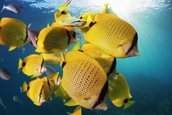 Hawaiian Fish Photograph - Schooling Milletseed Butterflyfish by Dave Fleetham